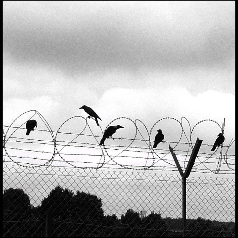 crows on a barbwire